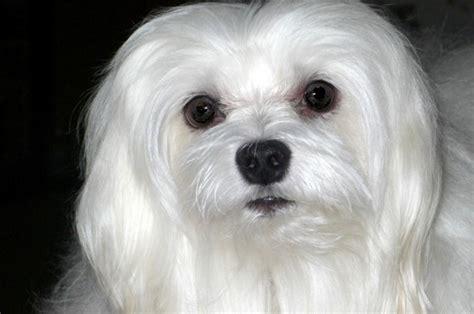 maltese breed maltese breeders photograph maltese breeds popular