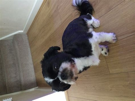 shih tzu birmingham shih tzu for sale birmingham west midlands pets4homes