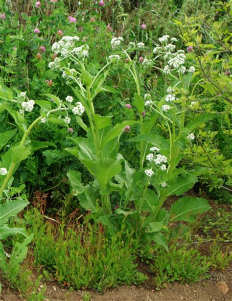 Deep Rooted Vegetables - wild quinine parthenium integrifolium packet of 50 seeds organic strictly medicinal seeds