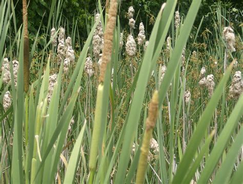 Cattail L by A Homesteading The Amazing Cattail
