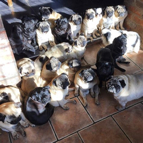 how many pugs are there in the world top 20 pugs of instagram 2015 the pug diary