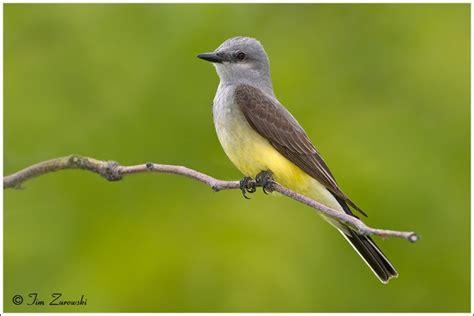 western kingbird tyrannus verticalis birds xiv pinterest