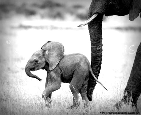 wallpaper elephant black white black and white photo baby elephant wallpaper high