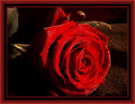 imagenes de rosas con versos ver imagenes de rosas con versos archivos imagenes de rosa