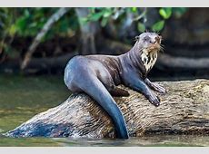 Giant River Otters | Giant Otter Facts | DK Find Out W Is For Watermelon