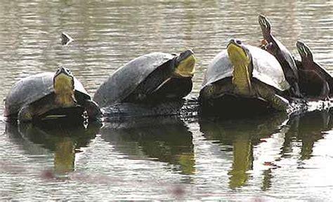 aquatic turtle basking light turtles