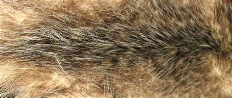 Define Awn by File Opossum Fur Jpg Wikimedia Commons