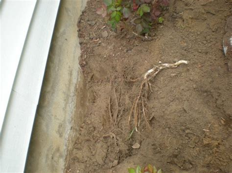 maple tree roots surface maple tree roots causing damage