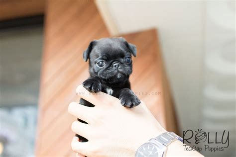 black teacup pug pug rolly teacup puppies