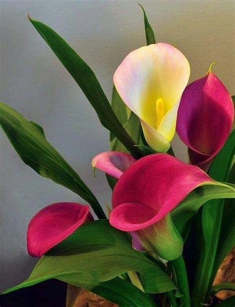 fotos de lirios flores picture to pin on pinterest pinsdaddy lirios floreros pinterest