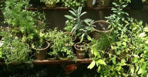 Jual Bibit Oregano Basil jual benih tanaman herbs cara menanam bibit herbs