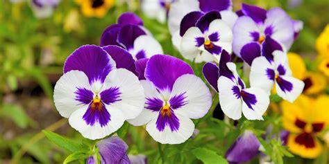 le violette fiori fiori commestibili violette acquista