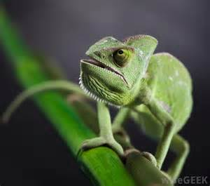 what are the different types of chameleons with pictures