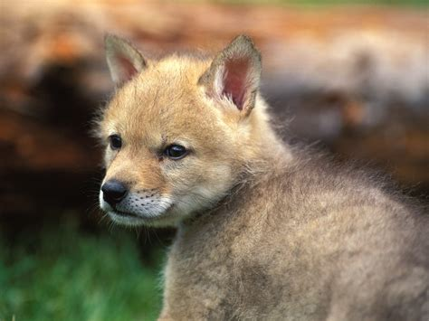 coyote puppy free hq coyote puppy wallpaper free hq wallpapers
