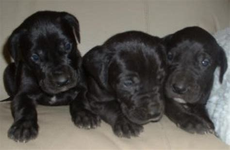 pomeranian puppies for sale in coimbatore great dane puppies for sale coimbatore breeds picture