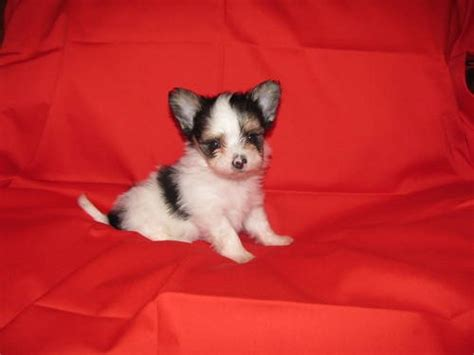ebay puppies for sale yorkie dogs puppies for sale in houston ebay rachael edwards
