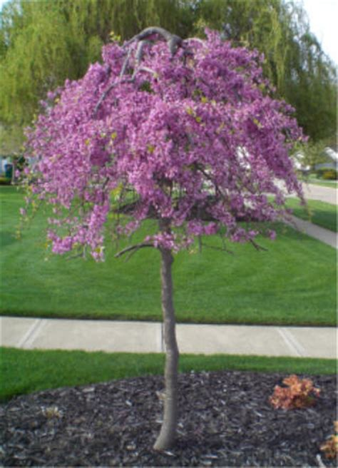 weeping cherry tree 6 foot colorful and flowering plants to brighten up your yard in the early