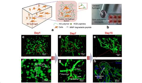 pattern formation cell culture mc pattern formation in 3d ha hydrogel a schematic