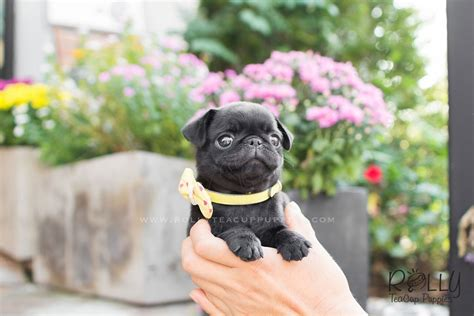 black teacup pug fiona black pug rolly teacup puppies
