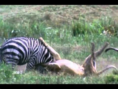 tiger  attacking  zebra quickely youtube
