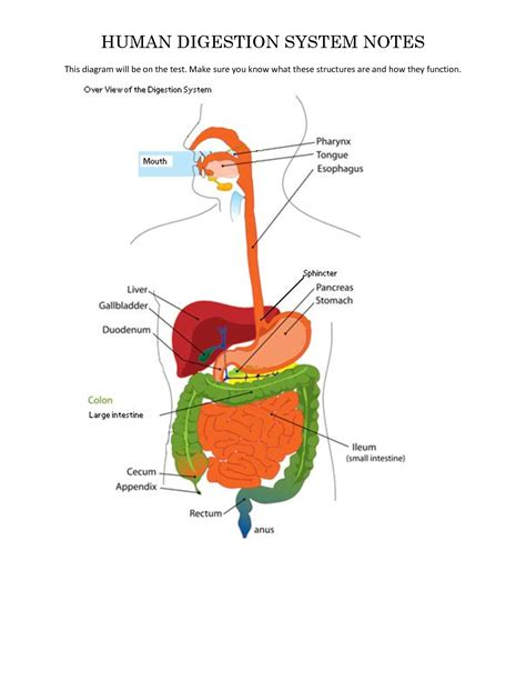 digestive system diagram unlabelled human digestive system diagram of anatomy