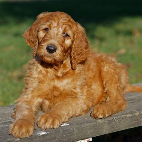 irish setter golden doodle 11 best irish doodles images on pinterest golden doodles