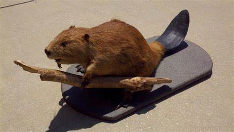 Modern Room Decor taxidermy beaver mount