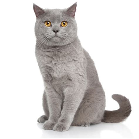 Petsafe Dog Door Breed All About It British Amp Exotic Shorthair Petsafe
