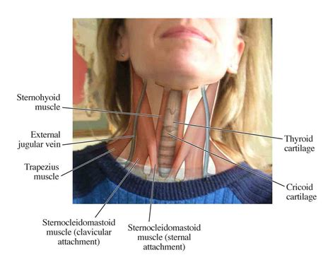 neck glands diagram useful notes on the jugular vein of human neck