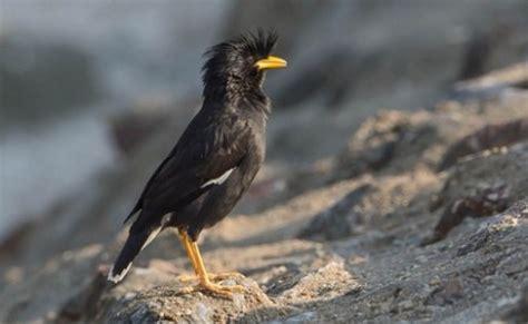 macam jenis burung jalak lengkap dengan gambar situs burung
