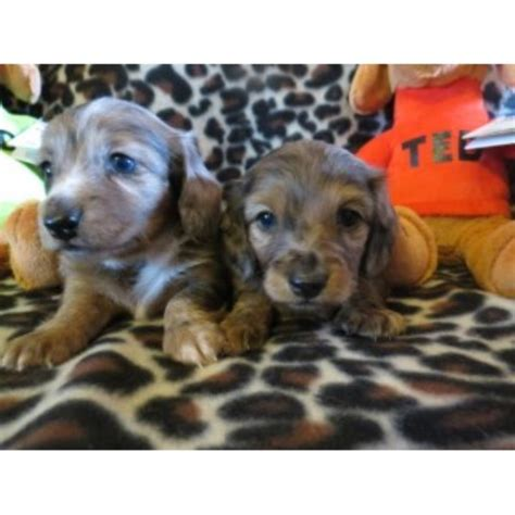 dachshund puppies near me dachshund breeders near me photo