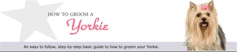 how to a yorkie to come how to groom a yorkie an guide