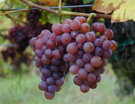 uvas silvestres imagenes plantas 187 fotos de uva