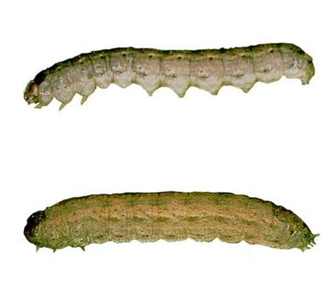 cutworms in home gardens : insects : university of