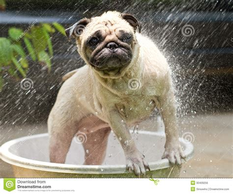 pug taking a bath shower royalty free stock image image 30409256