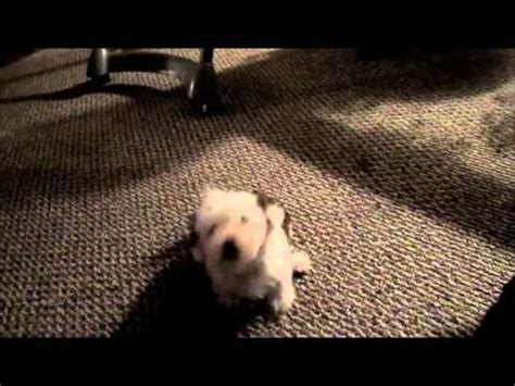 chinese crested powderpuff puppies 8 weeks old youtube