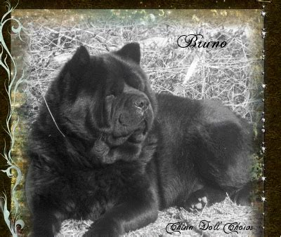china doll chows akc chion bloodline chow chow breeder smooth coat