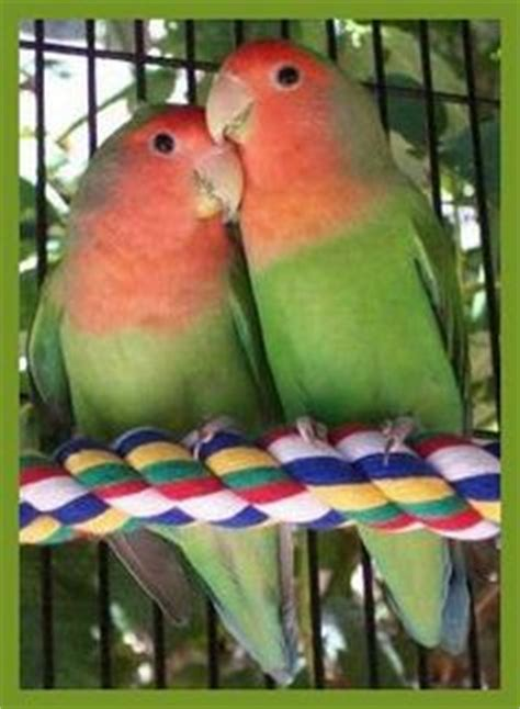 peach faced lovebirds purple pets