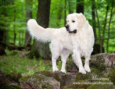 golden retriever puppies connecticut best 25 white golden retrievers ideas on