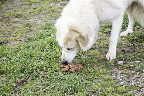 coprophagia in dogs coprophagia in dogs symptoms causes diagnosis treatment recovery management cost