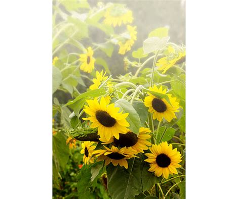 Sunflower Garden Decor Items Similar To Sunflower Print Garden Decor Flora Print Sunflower Rustic Decor Yellow