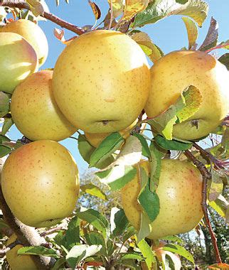 crimson crisp apple tree fruit trees, home gardening at