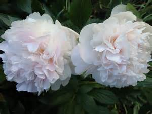 peas and peonies peas and peonies m a june on pinterest peonies sweet