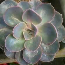 Tanaman Wijaya Kusuma Pink tanaman wijaya kusuma kepiting pink