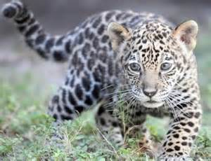 How Many Babies Does A Jaguar Boynton Real Estate Come See The 2 Month Baby
