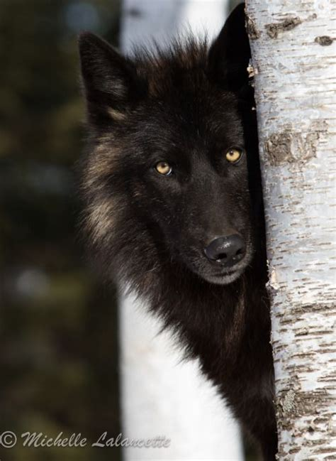 Best 25 Wolves Ideas On Pinterest Beautiful Wolves Black Wolf American