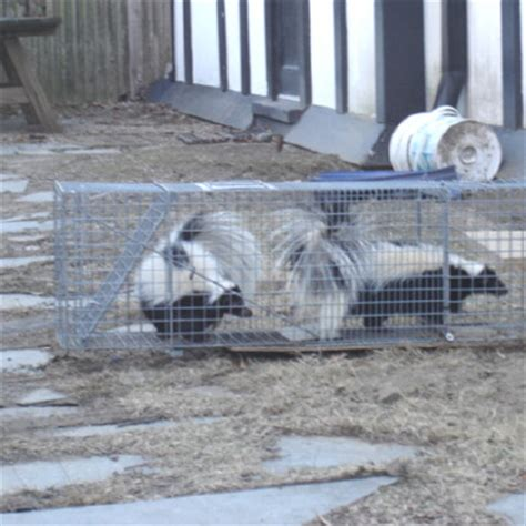 Getting Rid Of Skunks Shed by Skunk Removal In Massachusetts And Rhode Island Getting