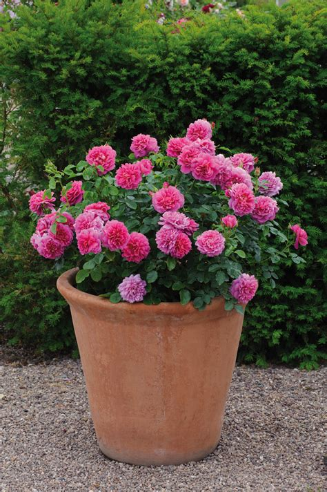 Shrubs For Planters by Rosa Princess In Pot David Roses