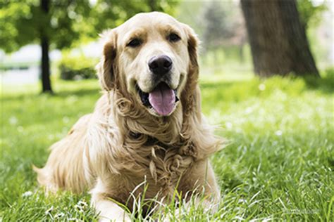 kidney disease in golden retrievers 10 common causes of kidney disease in dogs
