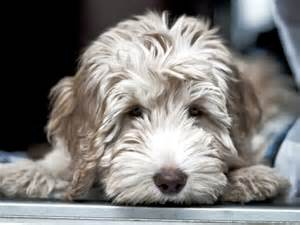 goldendoodle puppy coat changes home midwest labradoodle